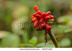 Red Jack in the Pulpit Berries in the woods.