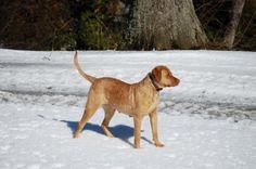 Ellis Farms CBR - Zoe in the snow 1/14 Chesapeake Bay, Cbr, Farms, Labrador Retriever, Snow, Dogs, Animals, Labrador Retrievers, Homesteads