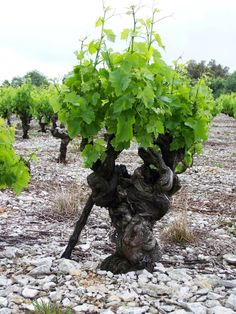 Venerable old muscat vine