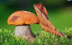 Koźlarz pomarańczowożółty