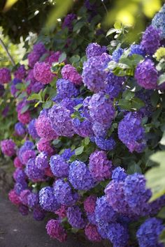 stunning hydrangeas at Green Valley Growers Farm, Sebastopol, CA - Beautiful Flowers Purple Flower Names, Types Of Purple Flowers, Beautiful Flowers, Purple Hydrangeas, Hydrangea Garden, Green Valley, Small Trees, Ikebana, Dream Garden