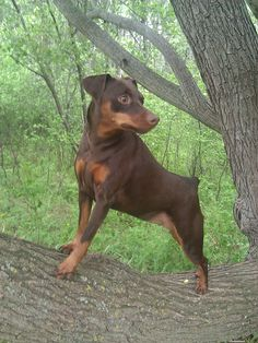 Chocolate Min Pin Tessa looking for birds in the tree. All Breeds Of Dogs, Most Popular Dog Breeds, Miniature Schnauzer Puppies, Miniature Pinscher, Mini Pinscher, Doberman Pinscher, Pet Dogs, Doggies, I Love Dogs