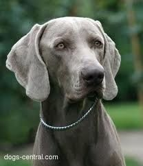 Oh yes I will have another weimaraner...