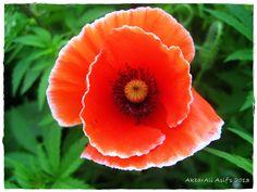 wild poppy of Pakistan