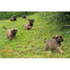 Leonberger Puppies  Run Away!