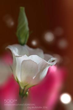 The flower of love by JrgWolfshfer. @go4fotos