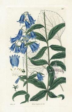 Antique Botanical Prints From Panteek - Canterbury bells