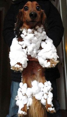 This precious long haired dachshund needs a warm coat and boots before going out into the snow - but what a cutie pie!