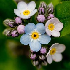 Forget-me-not (Myosotis) these will be in my wedding bouquet! Little Flowers, My Flower, Blue Flowers, Wild Flowers, Beautiful Flowers, No Rain, Forget Me Not, Flower Photos, Permaculture