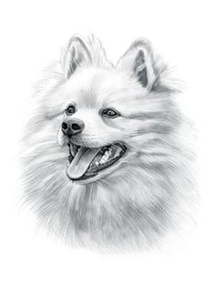 Find interesting facts and information about the German Spitz breed. Discover facts about the history, characteristics and temperament of the German Spitz breed. Description of the German Spitz with details of height, weight, diet and grooming. Spitz Puppy, Spitz Pomeranian, Spitz Dogs, Pomeranians, Animal Sketches, Animal Drawings, Art Sketches, Dog Drawings, Pitbull Drawing
