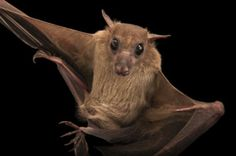 Long-haired Rousette Bat (Rousettus lanosus)