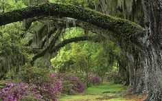 spanish moss on trees pictures | Savannah and Charleston: spanish moss hangs from trees and balconies