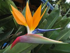 Imágenes de flores y plantas: Ave del paraiso