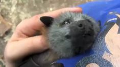 Cute Little Animals, Cute Funny Animals, Cute Bat, Cute Baby Bats, Cute Animal Videos, Tier Fotos, Cute Creatures, Animals And Pets, Wild Animals