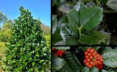 """The Liberty"""" Holly is a care-free large shrub or small tree with a dense, pyramidal habit. Evergreen Garden, Evergreen Shrubs, Holly Bush, Holly Tree, Bloom Where You Are Planted, Garden Of Eden, Large Plants, Small Trees, Landscaping Plants"""