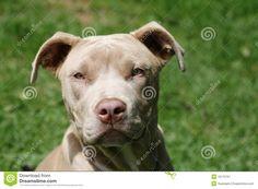 pitbull | Cabeça bonita de um pitbull do champanhe filhote de cachorro velho de…