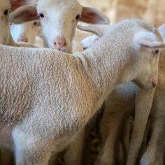 oveja Lamb, Spain, Animals, Sheep, Animales, Animaux, Sevilla Spain, Animal, Animais