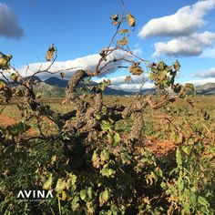 November days and the leaves are turning and falling. The nights are chilly but the sun still warms the naked vines in the fields. Avina is busy making wine stoppers and corkscrews to help you with your winter wine. Wine Vineyards, Wine Bottle Stoppers, Wine Making, Corporate Gifts, Turning, Fields, Vines, Naked, November