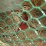 Quick and dirty guide to raising quail