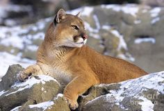 Personality: Cunning, quiet, observant. Mountain lions – also known as cougars, pumas and catamounts – are remarkably versatile, capable of surviving and thriving in an enormous range of conditions. They meet their goals through long-term planning and strategy, rather than rushing in head-on. People with mountain lions dæmons are better at controlling their tempers than most other big cats.