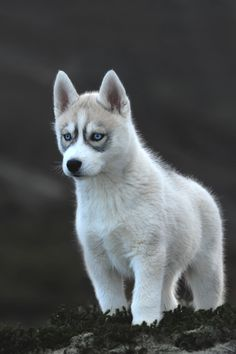 White Siberian Husky-A working dog breed; originated in northeastern Siberia; belongs to Spitz genetic family; bred to pull heavy loads; sent to USA and Canada to pull sleds; Siberian husky, Samoyed. Alaskan Malamute descended from original sled dog