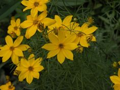 Attracting butterflies and hummingbirds to your gardens: Doing double duty as an edging plant and a lure: The threadleaf foliage of coreopsis verticillata makes a nice edging plant for this garden of soft colors. While Coreopsis 'Zagreb' is a bolder yellow than the popular 'Moonbeam', it's a much hardier plant and it likes to spread out. Butterflies look for large swaths of color. They want to know it's worth their time to fly down and land.