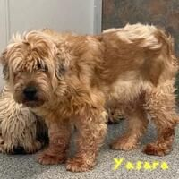 Foster To Adopt, Wheaten Terrier, Animal Welfare, Iowa, Pet Adoption, The Fosters, Dog Cat, Meet, Cats