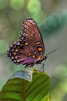 Red Spotted Purple Butterfly by jacobkaren30