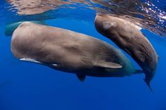 Sperm whales swim across Caribbean coast in stunning underwater pictures What Animal Are You, Great Whale, Underwater Pictures, Underwater Photographer, Whale Art, Wale, Humpback Whale, Killer Whales, Ocean Life