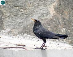 https://www.facebook.com/WonderBirdSpecies/ Blue whistling thrush (Myophonus caeruleus); Central Asia, China and Southeast Asia; IUCN Red List of Threatened Species 3.1 : Least Concern (LC)(Loài ít quan tâm) || Hoét lam; Trung Á, Trung Quốc và Đông Nam Á; [HỌ HOÉT - TURDIDAE (Thrushes) || HỌ ĐỚP RUỒI - MUSCICAPIDAE (Old World Flycatchers) ??].
