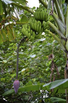 Banana tree, Rarotonga. For your ultimate destination holiday visit www.rumours-rarotonga.com