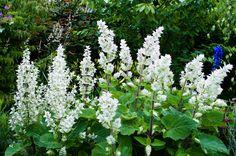 Salvia sclarea turkestianica 'alba', la sauge sclarée blanche
