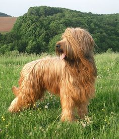 Briard. Get a Free Consultation for your #large #dog #breed from our Friends at Nature's Select http://naturalpetfooddelivery.com/nsd/usa/free-consultation/