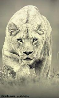 خلفيات جوال اجمل صور خلفيات موبايل بجودة Hd عالية الدقة 2021 Mobile Iphone Wallpapers In 2021 Lion Wallpaper Lion Pictures Big Cats