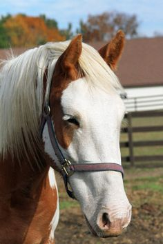 """Rescue, adoptable  http://www.horseshaven.org/adoptables.htm  """"Cloud"""", Palamino Overo Pinto gelding.  Belgian/Paint cross.  4 years old (in 2011).  16 hands.  Not broke but ready for a job.  Sensible and loves people.  He was a starvation rescue.  Before and after pics on HH website.  Sound and sane!"""