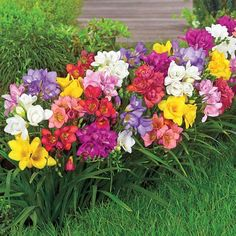 How about Ranunculus or Freesia - perfect for brightening up the summer garden? Check out our unique summer-flowering bulbs here! Summer Flowering Bulbs, Summer Bulbs, Spring Bulbs, Spring Blooms, Colorful Garden, Colorful Flowers, Beautiful Flowers, Simply Beautiful, Part Shade Flowers