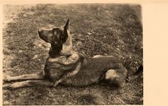 Old RARE German Shepherd Dog Photo Postcard PC Brussels Belgium C1950s | eBay