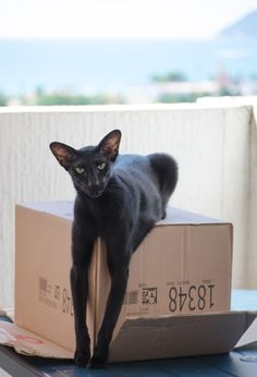 Oriental Shorthair black cat Usyaka is sitting on a box with her long front paws down