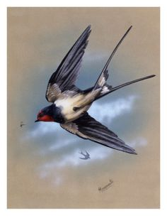 Inch Print - High quality print (other products available) - A swallow (Hirundo rustica) in flight. Painting by Malcolm Greensmith - Image supplied by Mary Evans Prints Online - Photo Print made in the USA Golondrinas Tattoo, Nicolas Vanier, Swallow Bird, Tattoo Swallow, Swallow Tattoo Design, Aquarell Tattoo, Sparrow Tattoo, Fine Art Prints, Canvas Prints