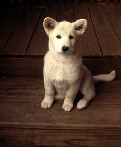 German shepherd - it's white!!!! he's like a little teddy bear!!!!