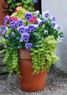 Beautiful pot of pansies!