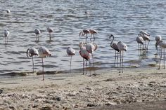 Shorebirds in Walvis Bay, Namibia. #Africa