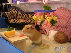 Table Manners - Guinea Pig Cage Photos