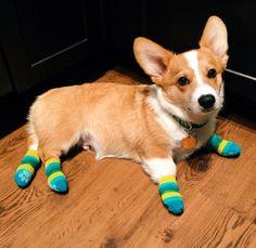 corgi wearing socks