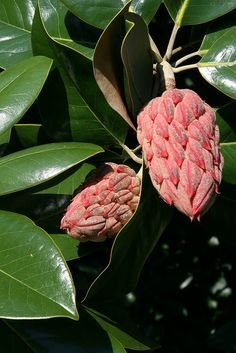 Magnolia Pods ~ Magnolia leaves are great for Christmas decorating; I have even sprayed the pods gold...