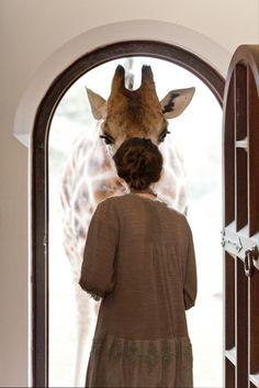 Giraffes doing human things