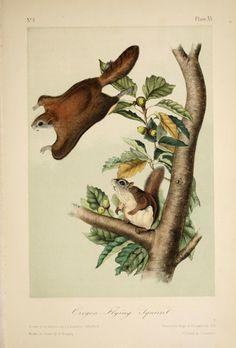 The quadrupeds of North America. v.1.  New York,V.G. Audubon,1851-54.  Biodiversitylibrary. Biodivlibrary. BHL. Biodiversity Heritage Library.