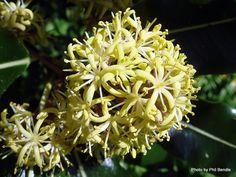 Taranaki Educational Resource: Research, Analysis and Information Network - Pittosporum eugenioides (Lemonwood). Native Plants, Education, Onderwijs, Learning