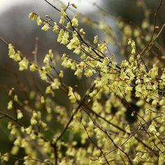 Buy winter hazel Corylopsis pauciflora: Delivery by Crocus