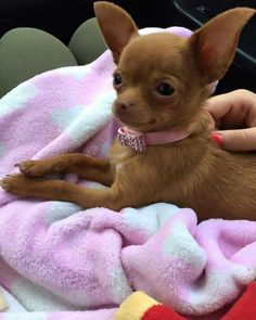 Effective Potty Training Chihuahua Consistency Is Key Ideas. Brilliant Potty Training Chihuahua Consistency Is Key Ideas. Cute Puppies, Cute Dogs, Dogs And Puppies, Doggies, Poodle Puppies, Labradoodle, Baby Animals, Cute Animals, Baby Chihuahua